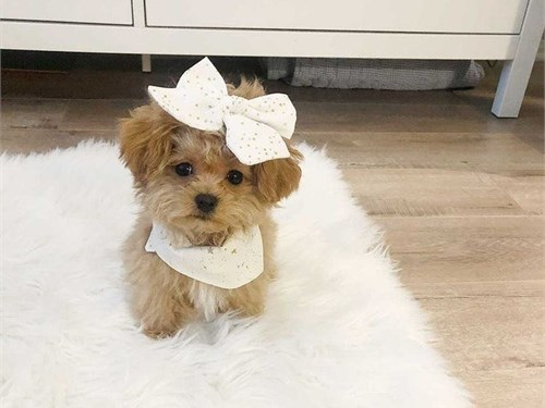Maltipoo pups available
