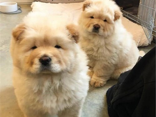 CUTE CHOW CHOW PUPS