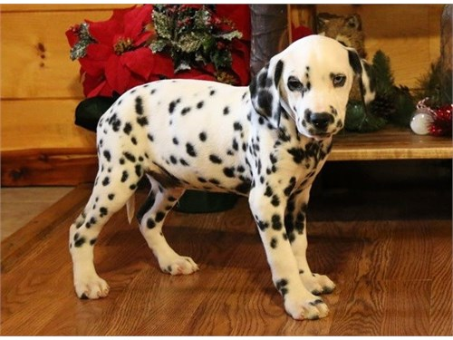 Loving Dalmatian Puppies