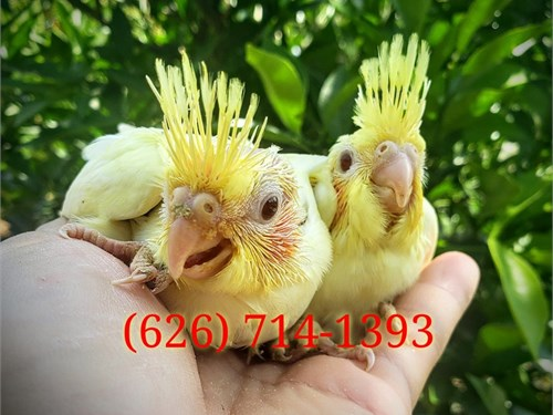 High Quality Cockatiels
