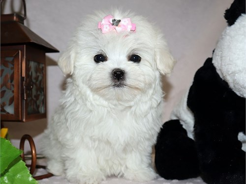 Maltese Puppies!!