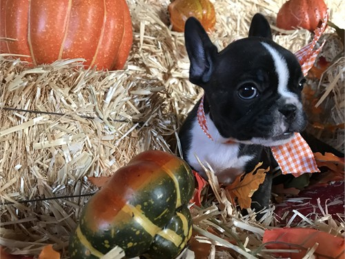 Frenchie Teacup AKC