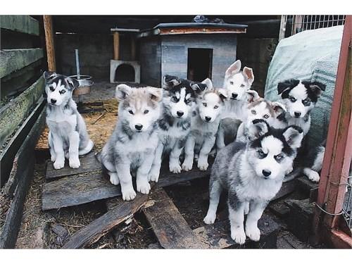 Sweet Siberian Husky Pups