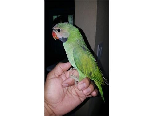 Tame mustache parakeet