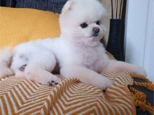 Korean Pomeranian