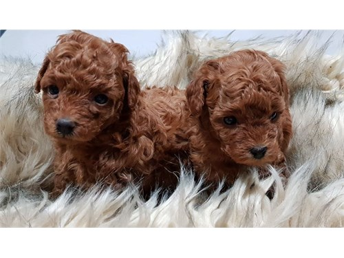Available poodles Puppies