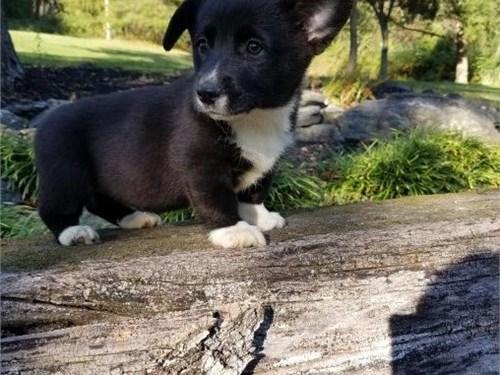 welsh corgi pups