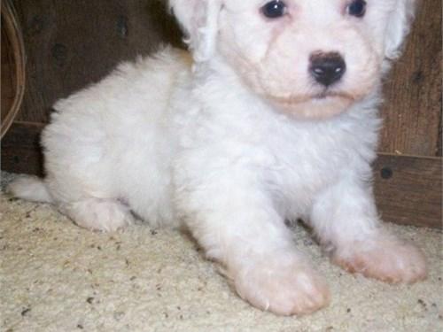 Joyful Bichon fris pups