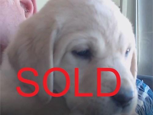 AKC Labrador Puppy Vivvy