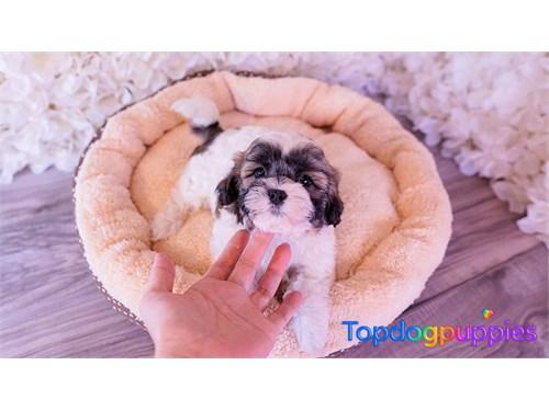 shih tzu poodle mix puppy