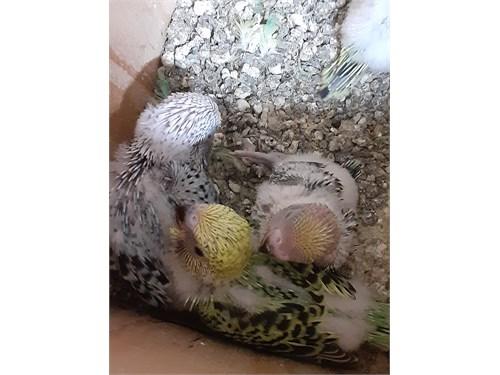 English Parakeet Babies