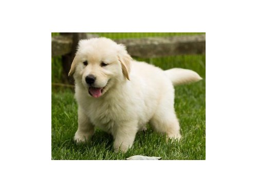 lovely Golden Retriever P