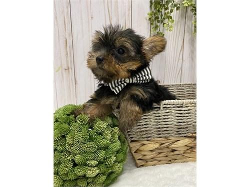 Akc Yorkie Puppies.