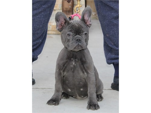 Top Euro Import Frenchies