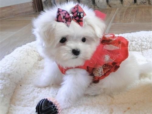 Micro Teacup Maltese Pups