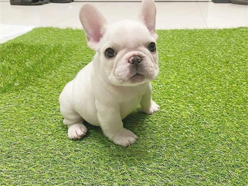Cute Adorable Frenchie Pu