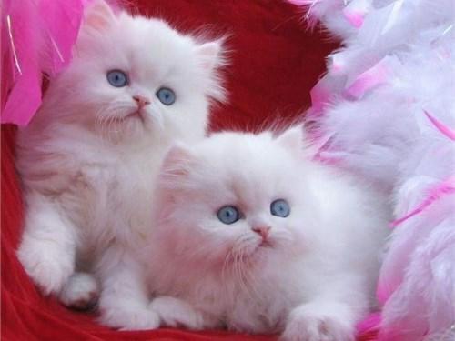 Pretty - Persian Kittens