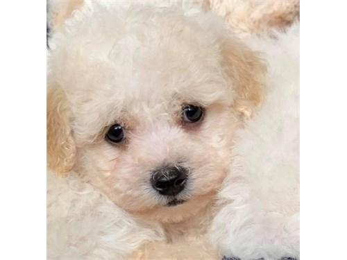 Happy Bichon frise pups