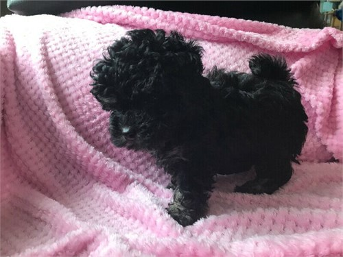 Lovely toy poodle puppies