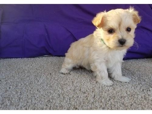 Cute Maltipoo Pups.