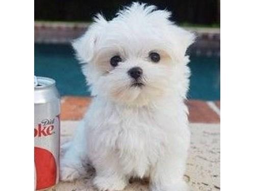 Outstanding Maltese Pups