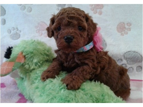 Super tiny Red poodle pup