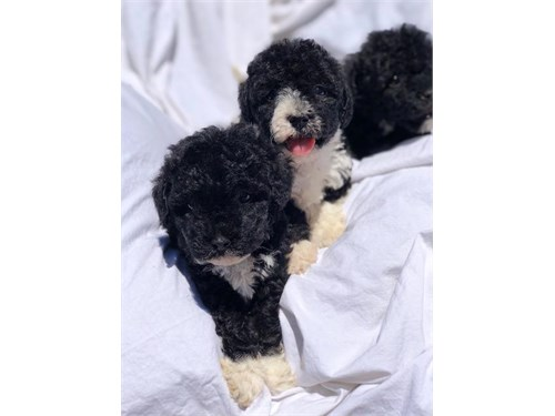 Mini Goldendoodle Pups