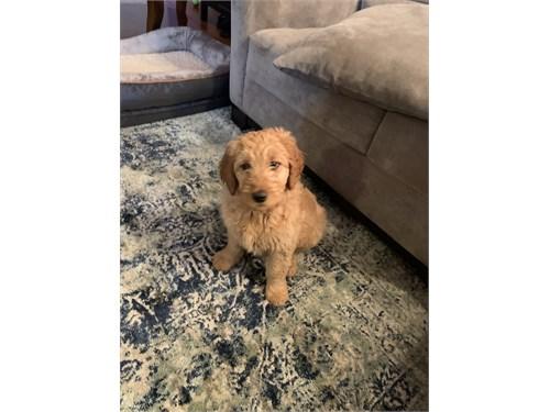 Goldendoodle doodle puppy