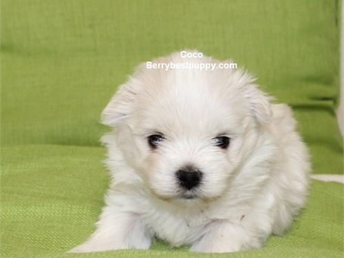 Maltese Puppy - male