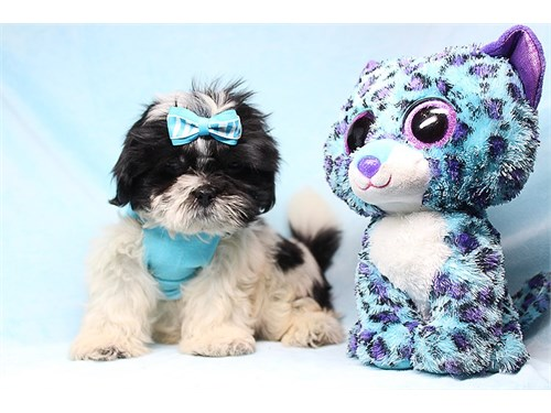 Teacup and Toy Shih Tzu