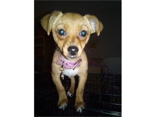 Teacup PomChi Puppy