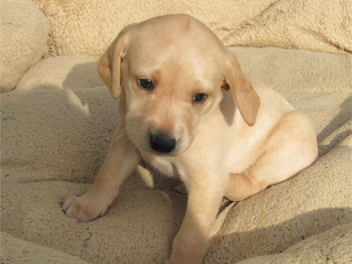 gorgeous Labrador