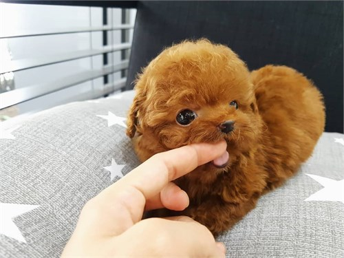 Great Poodle Puppies