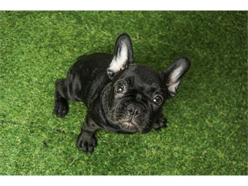 Black French Bulldog Pup