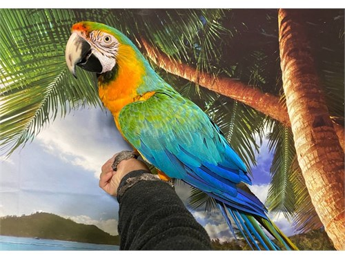 Talking Tropicana Macaw