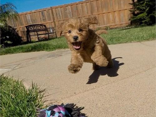 Female Goldendoodle Pup!!
