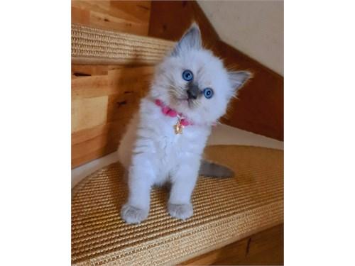 Rag,doll Kittens