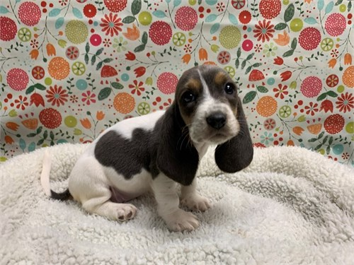 Home raised basset hound