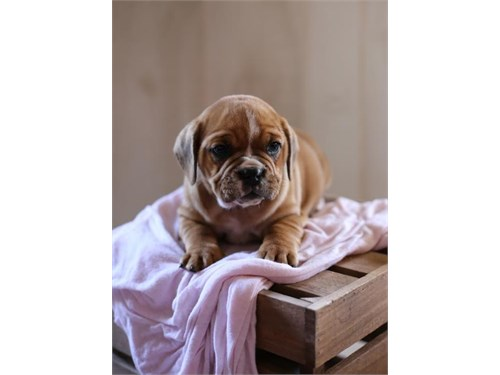 EngAam Bulldog pups