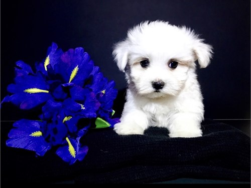 Super Cute Toy Maltese.