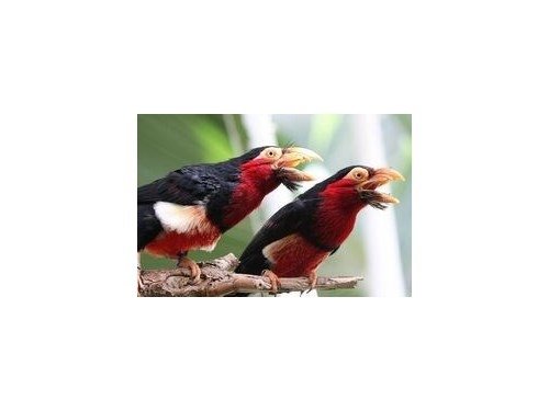 WANTED: Bearded Barbet
