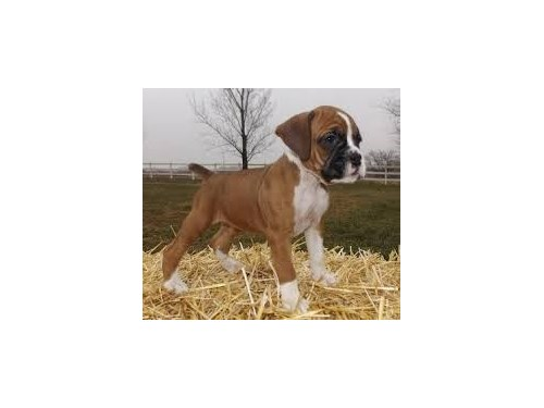 Boxer Pups Ready Now