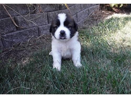 Cute Saint Bernard pups