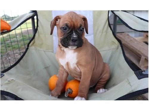 Beautiful Fawn Boxer Pups