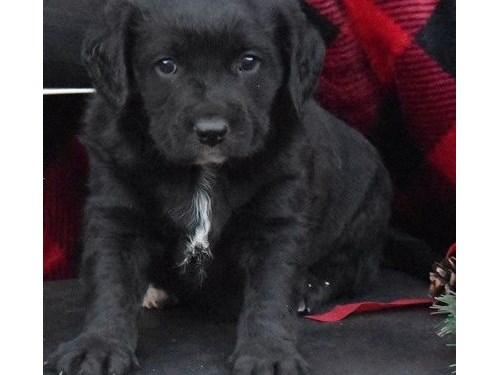 Cute Lab Retriever Pups