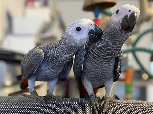 Baby Congo African Greys
