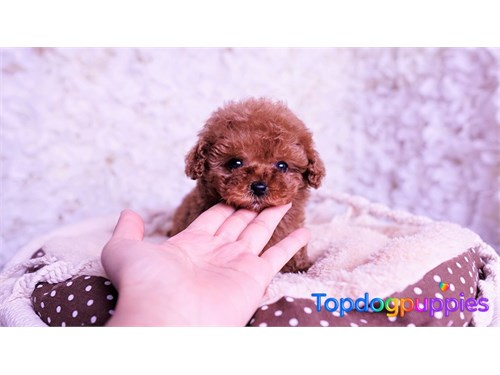 Teacup toy poodle puppy