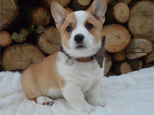 NEW Pembroke Welsh Corgi