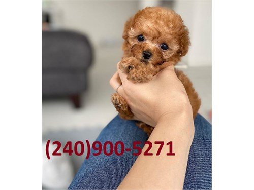 CLEAN TOY SIZE POODLE