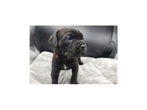 Adorable Cane Corso pupps
